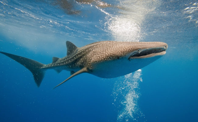 zralok-velrybi-video
