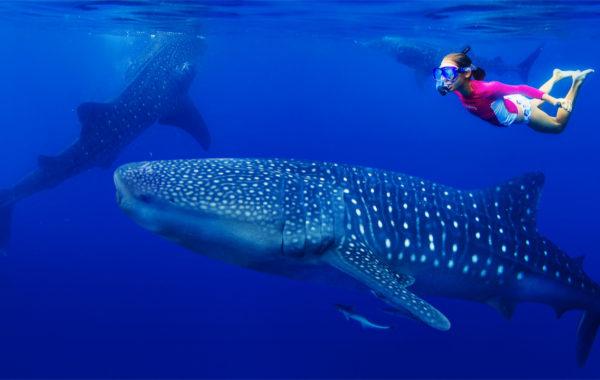 Velrybí žraloci