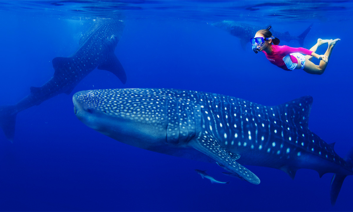 Potápění s velrybími žraloky kde