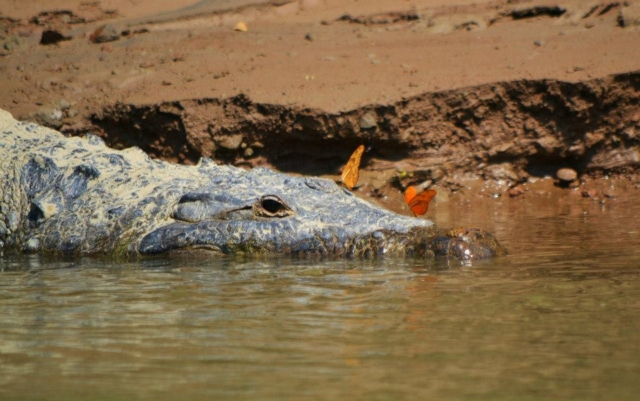 Krokodýl v oblasti Usumacinta