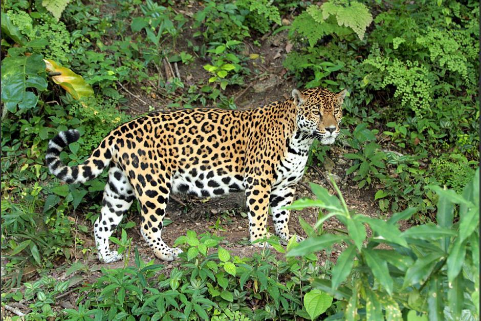 Jaguár - vzácný reprezentant místní fauny