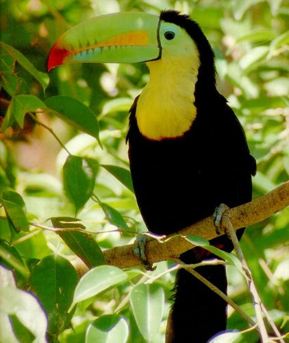 Tukan - deštný prales