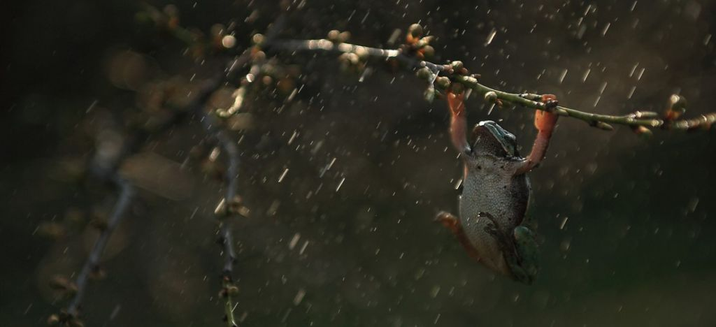 kostarika - žáby
