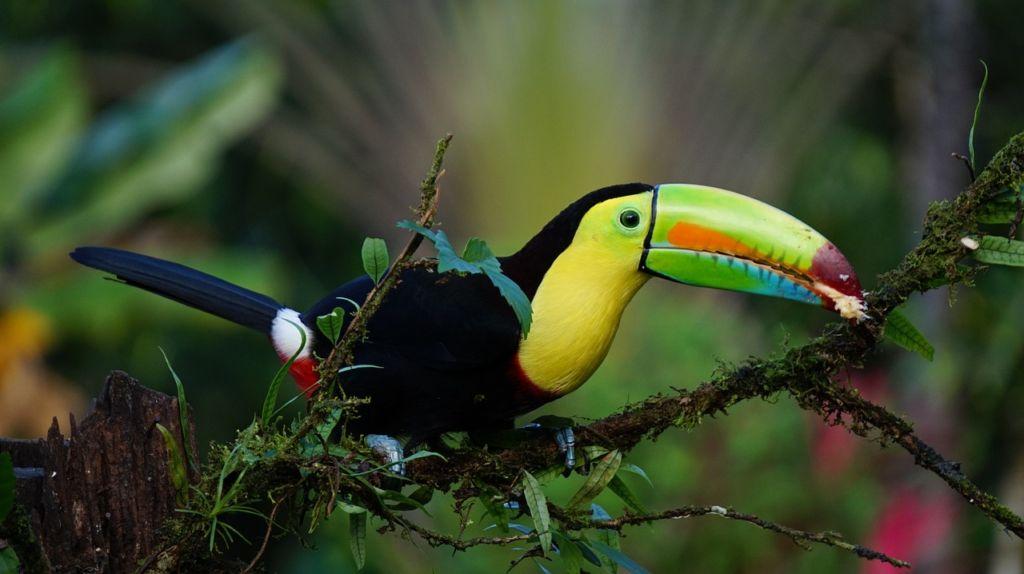kostarika - tukan